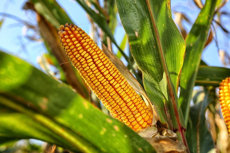 lonja albacete maiz