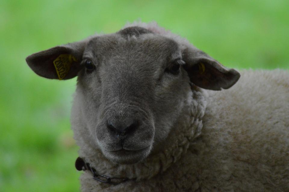 lonja de albacete ovino