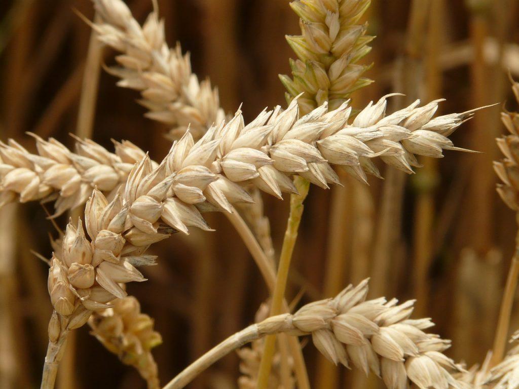 precio trigo lonja albacete